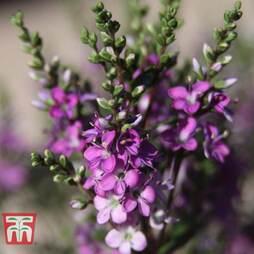 Hebe 'Garden Beauty Purple'