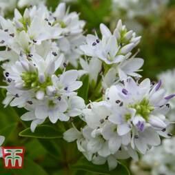 Hebe 'Garden Beauty White'