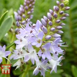 Hebe 'Lilac Fantasy'