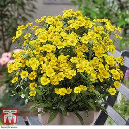 Helenium 'Lemon Sundae'