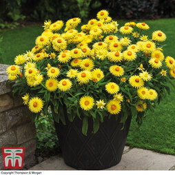 Helichrysum 'Nevada Gold'
