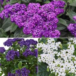 Heliotrope 'Cherry Pie' Trio