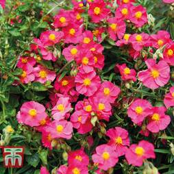 Helianthemum 'Bunbury'