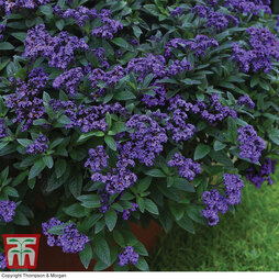 Heliotrope 'Cherry Pie'