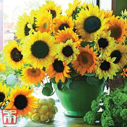 Sunflower 'Van Gogh'