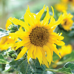 Sunflower 'Sunspots'
