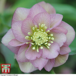 Hellebore 'Double Pink'