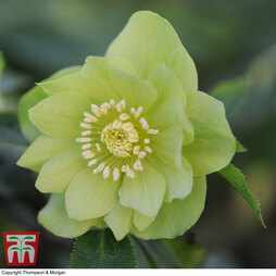 Hellebore 'Double Green'