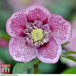 Hellebore 'Single Pink Blotch'