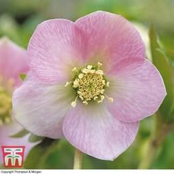 Hellebore 'Pink'