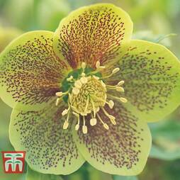 Hellebore 'Green Spotted'