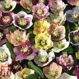 Hellebore Mixed Lucky Dip
