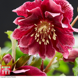 Hellebore 'Double Ellen Red'