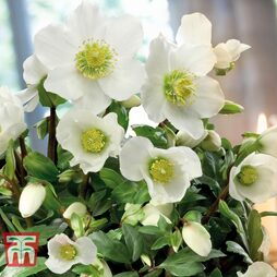 Hellebore Niger Potted Plants