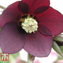 Hellebore 'Single Burgundy'