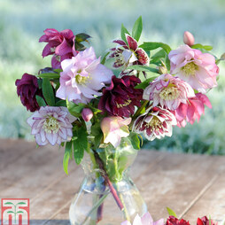 Hellebore 'Double Mixed'