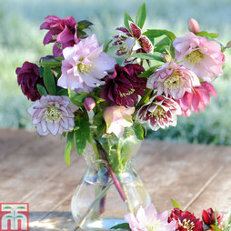 Hellebore 'Double Flowered'