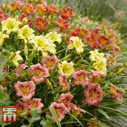 Hemerocallis 'Everyday Lily Series'