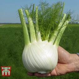 Fennel 'Dragon' F1 Hybrid
