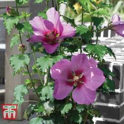Hibiscus 'Walberton?s® Rose Moon'