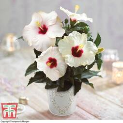 Hibiscus Pearl in Cream Zinc Pot