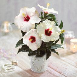 Hibiscus Pearl in Cream Zinc Pot - Gift