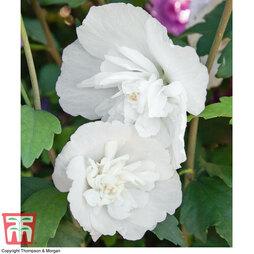 Hibiscus syriacus 'White Pillar'