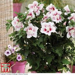 Hibiscus 'Starburst Chiffon' Potted Plants