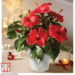 Hibiscus 'Festive Flair'