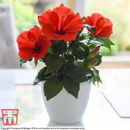 Hibiscus 'Afrodite Red'