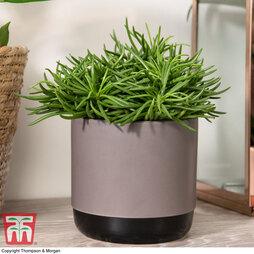 Senecio 'Himalaya' (House Plant)