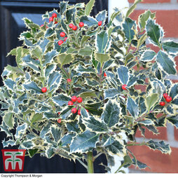 Holly 'Argentea Marginata'