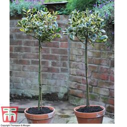 Standard Holly Tree 'Golden King' - Gift
