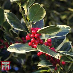 Holly 'Golden King'