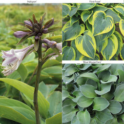 Hosta 'Slug Resistant' Collection