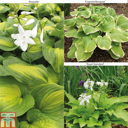 Hosta 'Scented' Collection