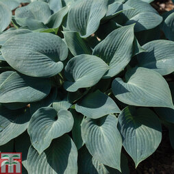 Hosta 'Marmalade on Toast'