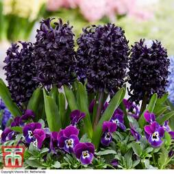 Hyacinth 'Midnight Mystic'®