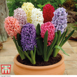 Hyacinth 'Breeder's Selection'