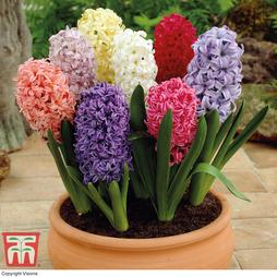 Hyacinth 'Breeder's Selection'