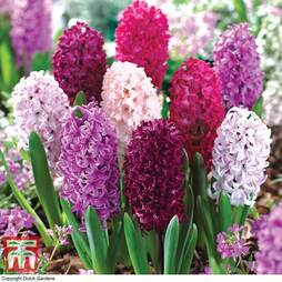 Hyacinth 'Berries and Cream Mixture'