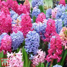 Hyacinth 'T&M Mix'