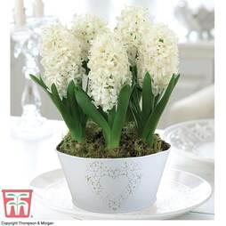 Hyacinth 'White Pearl' - Gift