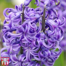 Hyacinth 'Blue Pearl'