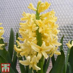 Hyacinth 'City of Harlem'