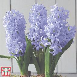 Hyacinth 'Sky Jacket'