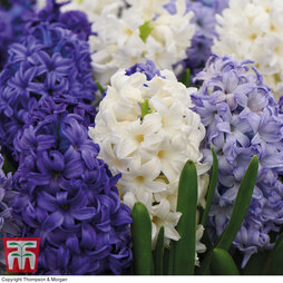 Hyacinth 'Rhapsody in Blue'
