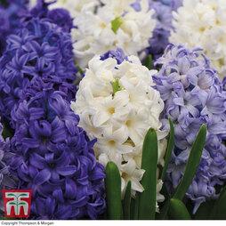 Hyacinth 'Rhapsody in Blue'