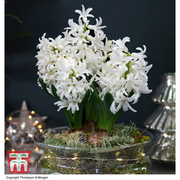 Lit Hyacinth Bowl - Gift