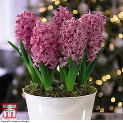 Hyacinth 'Pink Pearl' - Gift